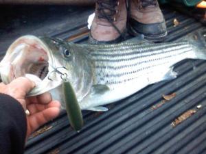 spring bass t corayer 2014