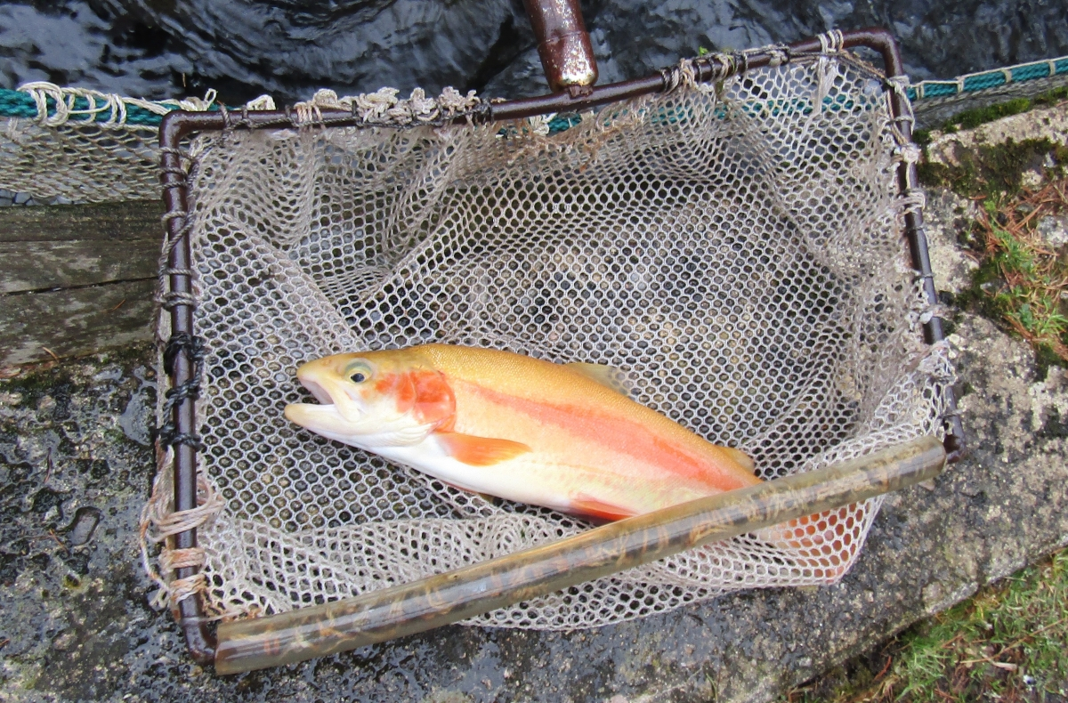 Dem Stocks Ponds With Golden Trout For Free Fishing Weekend The Fish Wrap Writer