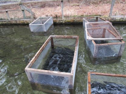 Dem stocks ponds with golden trout for free fishing for Rhode island saltwater fishing regulations