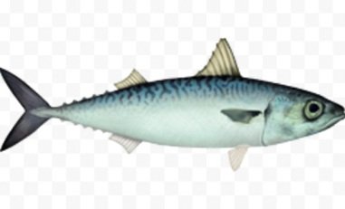 chub mackerel fish, about chub mackerel fish, chub mackerel fish appearance, chub mackerel fish breeding, chub mackerel fish care, caring chub mackerel fish, chub mackerel fish color, chub mackerel fish characteristics, chub mackerel fish eggs, chub mackerel fish facts, chub mackerel fish for food, chub mackerel fish farms, chub mackerel fish farming, chub mackerel fish history, chub mackerel fish info, chub mackerel fish images, chub mackerel fish origin, chub mackerel fish photos, chub mackerel fish pictures, chub mackerel fish rarity, raising chub mackerel fish, chub mackerel fish rearing, chub mackerel fish size, chub mackerel fish uses, chub mackerel fish varieties, chub mackerel fish weight, chub mackerel fish scales, raising chub mackerel fish for food, pacific mackerel, pacific chub mackerel, strummu ucchiutu, varatulu scrummu, occhiutu